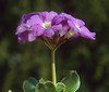 Primula spectabilis