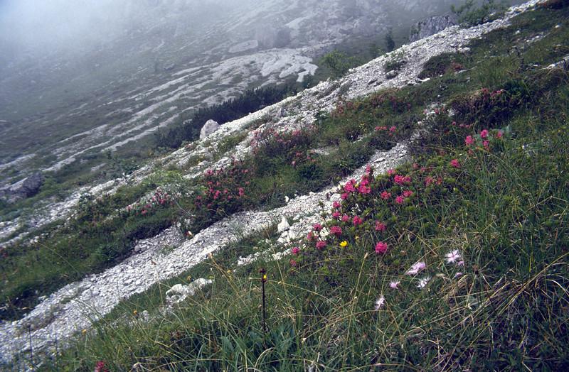 Habitat with Rhododendron hirsutum and Dianthus monspessulanus