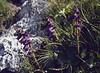 Horminium pyrenaicum