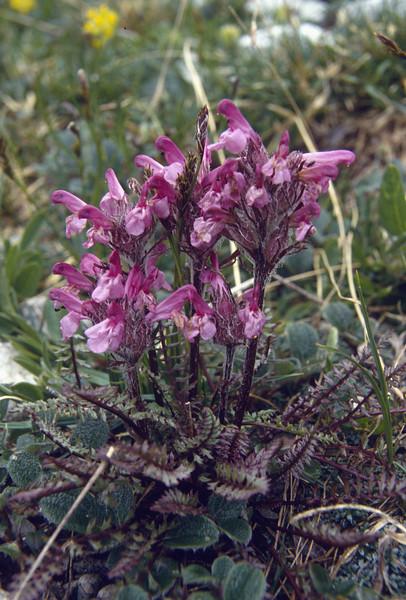 Pedicularis rosea ssp. rosea