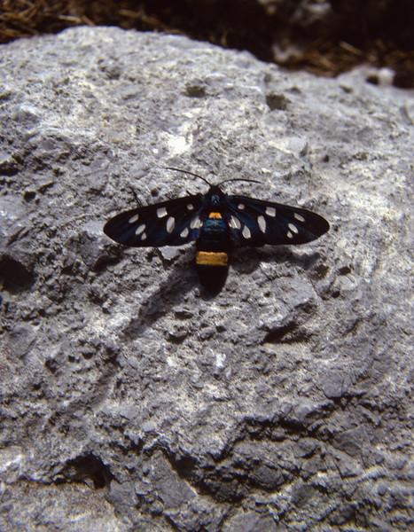 Amata phegea, (NL: Phegavlinder)