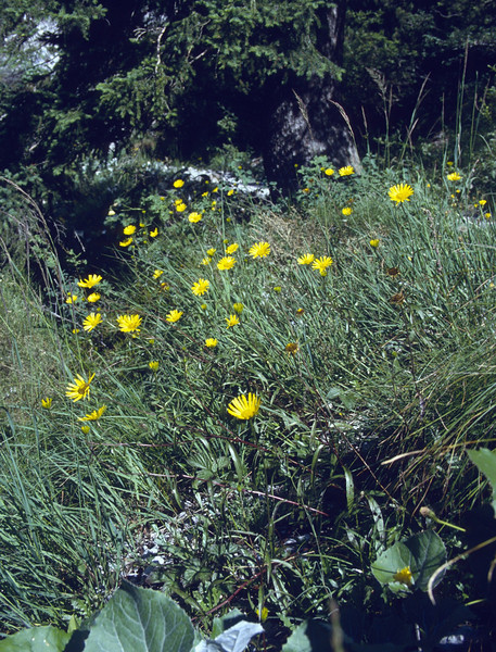 Buphthalmum salicifolium (syn. B. grandiflorum)