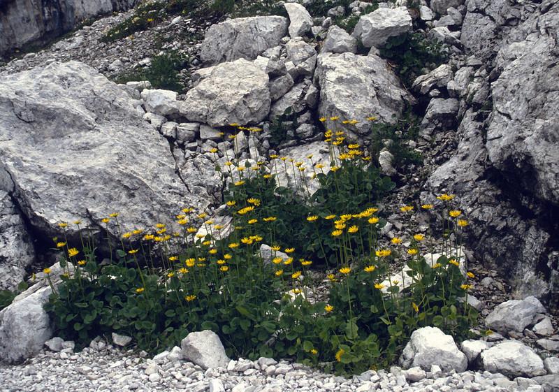 Doronicum columnae