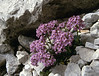 Thlaspi rotundifolium