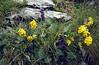 Anthyllis vulneraria and Anthyllis vulneraria and Horminium pyrenaica