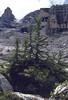 Larix decidua, forming new trees