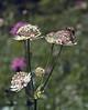 Astrantia major ssp. major