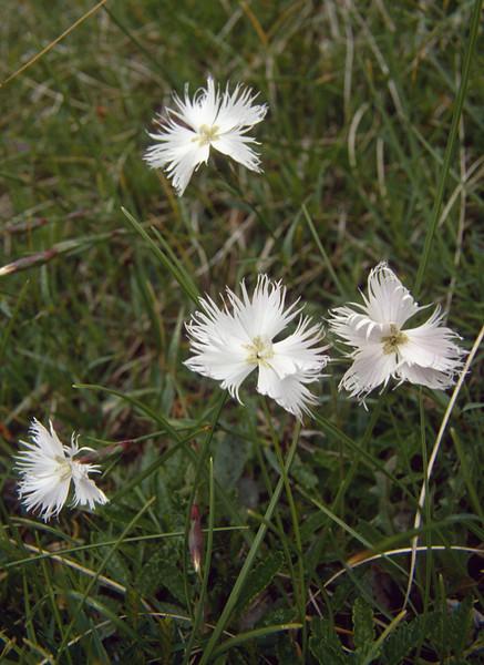 "Dianthus monspessulanus var. ""Alba"" (white coloured form)"