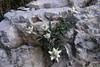 Leontopodium alpina