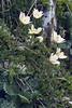 Anemone alpina ssp. austriaca
