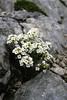 Pritzelago alpina ssp. alpina  (Dachstein, the Alps, Austria)