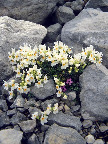 """Linaria alpina """"Alba"""" (Dachstein, the Alps, Austria)"""