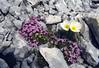 Scree with Papaver sendtneri and Silene acaulis (Dachstein, the Alps, Austria)