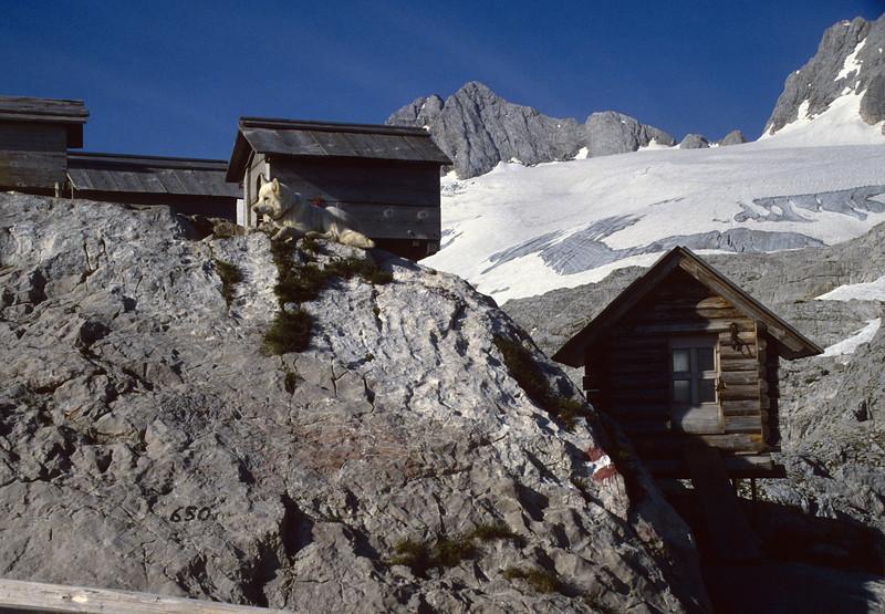 Huskies near the Simony Hütte, 2203m