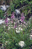 Pedicularis rostratospicata ssp. rostratospicata (Dachstein, the Alps, Austria)