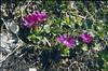 Primula clusiana (Dachstein, the Alps, Austria)