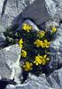 Helianthemum alpestre (Dachstein, the Alps, Austria)