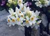"""Linaria alpina """"Alba"""" close up (Dachstein, the Alps, Austria)"""