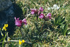 Pedicularis rostrato-capitata (Dachstein, the Alps, Austria)