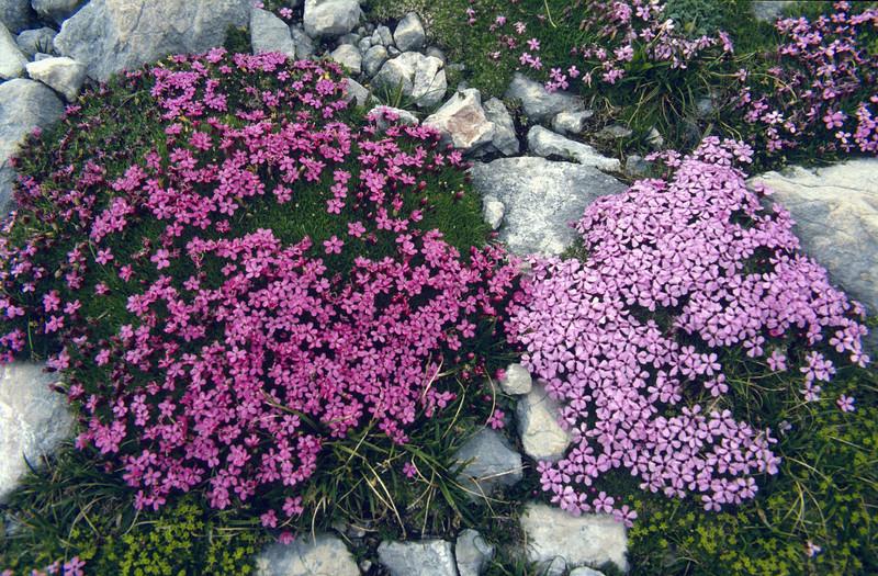 Colour variation of Silene acaulis (Dachstein, the Alps, Austria)
