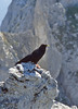 Pyrrhocorax graculus, Alpine Chough, (NL: Alpenkouw)