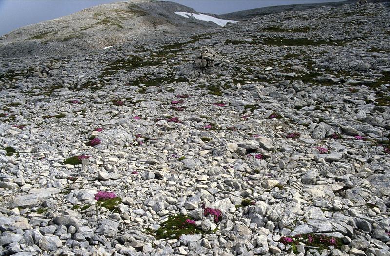Scree habitat with Silene acaulis (Dachstein, the Alps, Austria)
