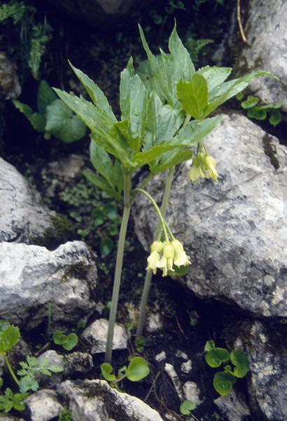 Cardamine enneaphyllos  (Dachstein, the Alps, Austria)
