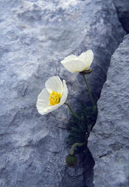 Crevice with Papaver sendtneri  (Dachstein, the Alps, Austria)