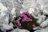Silene acaulis (Dachstein, the Alps, Austria)