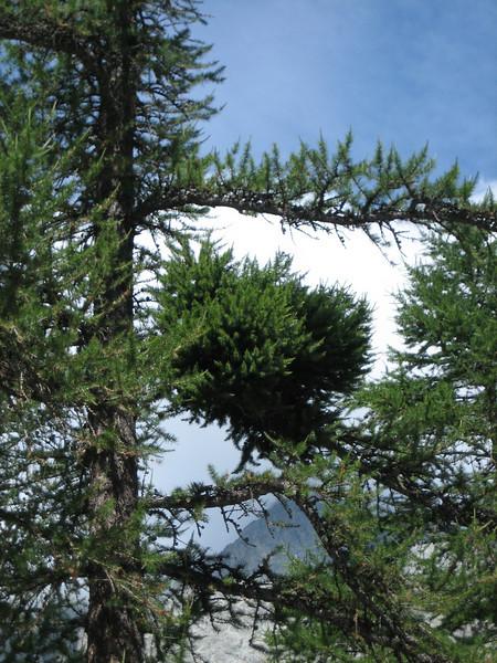 witches-broom in Larix decidua 1874m. (Ref. Cezanne)