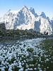 wet habitat of Eriophorum vaginatum and in the backgroud Mnt. Pelvoux (near Rif. Glacier Blanc)