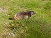 Marmota marmota, mountainmarmot 1993m. (Rif. du Pelvoux)