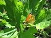 Heodes virgaureae ssp. virgaureae (male), (NL: vuurvlinder)