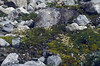 Micranthes stellaris (formerly Saxifraga stellaris)