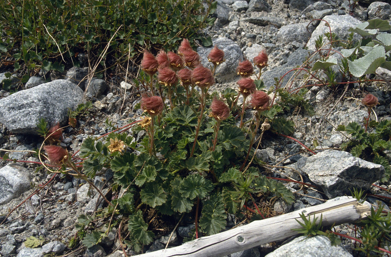 Geum reptans with seedplumes