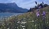 Catananche caerulea (Lac de Serre Poncon, Ecrin)