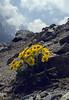 Geum reptans (near Glacier Blanc)