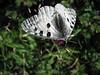 Parnassius apollo, (NL: Apollovlinder)