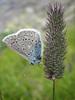 Agrodiaetus dolus on Phleum rhaeticum, (NL: blauwtje op grasaar)