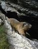Marmota marmota, mountainmarmot