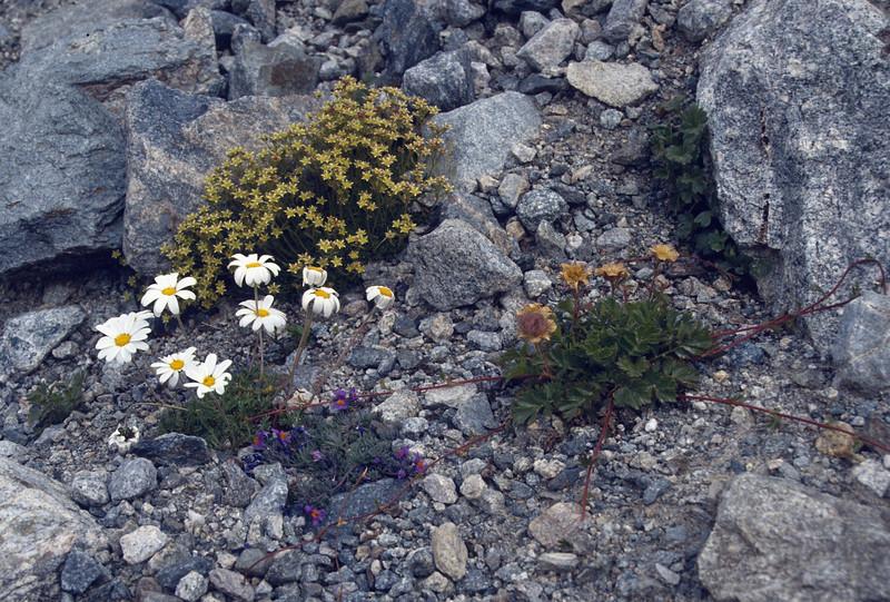 habitat with Tanacetum alpinum, Silene acaulis, Linaria alpina and Geum reptans (3000m)