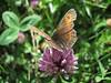 Erebia ligea spec. on a Trifolium, (NL: zandoogje op klaver)