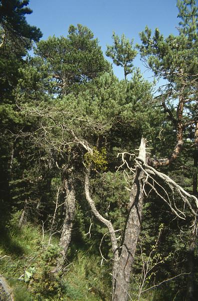Pinus sylvestris with the parasite Viscum album ssp. austriacum