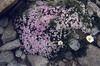 more coloured Silene acaulis (white - pink) and Tanacetum alpinum