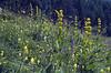 habitat with Gentiana lutea, Salvia spec. and Rhinanthus spec.