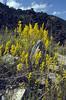 Galium vernum (Lac de Serre Poncon)