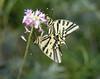copulate Papilio alexanor, (NL: parende koningspages)