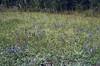 habitat with Pseudolysimachion spicatum,(Veronica spicata)