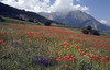 a field of Papaver rhoeas