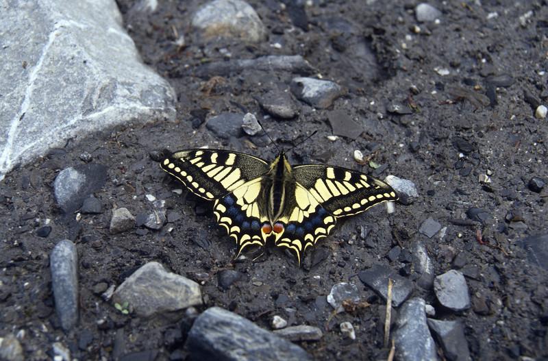 Papilio machaon, (NL: koninginnepage)